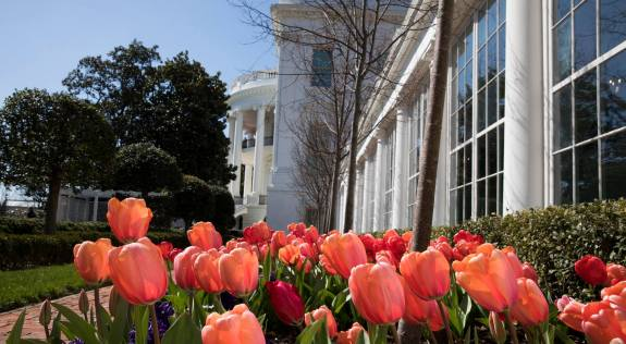 White House tulips